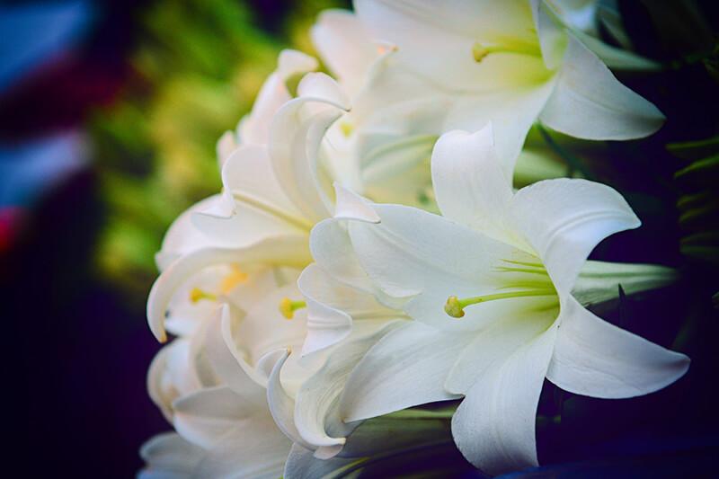 Hoa ly trắng
