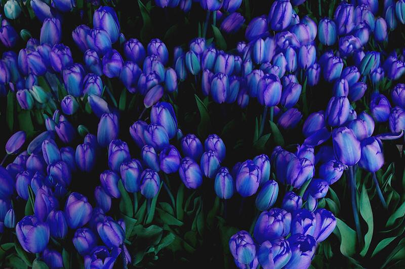Hoa tulip xanh