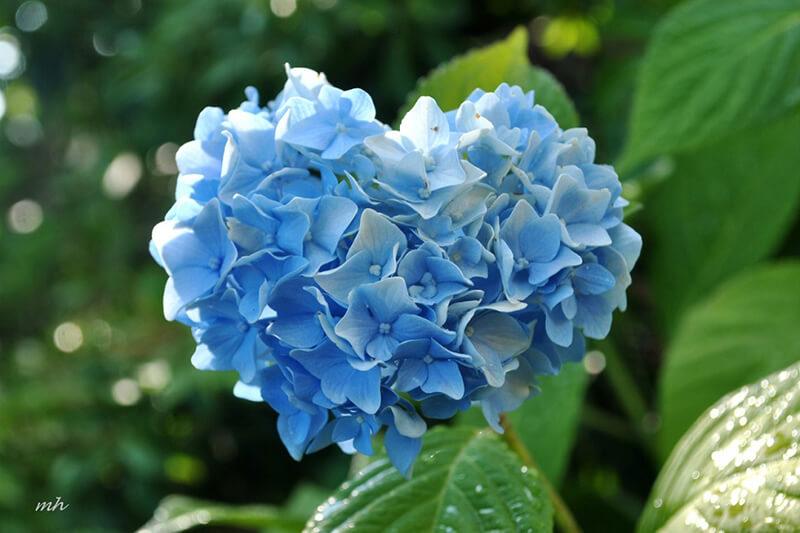 Hoa cẩm tú cầu xanh dương