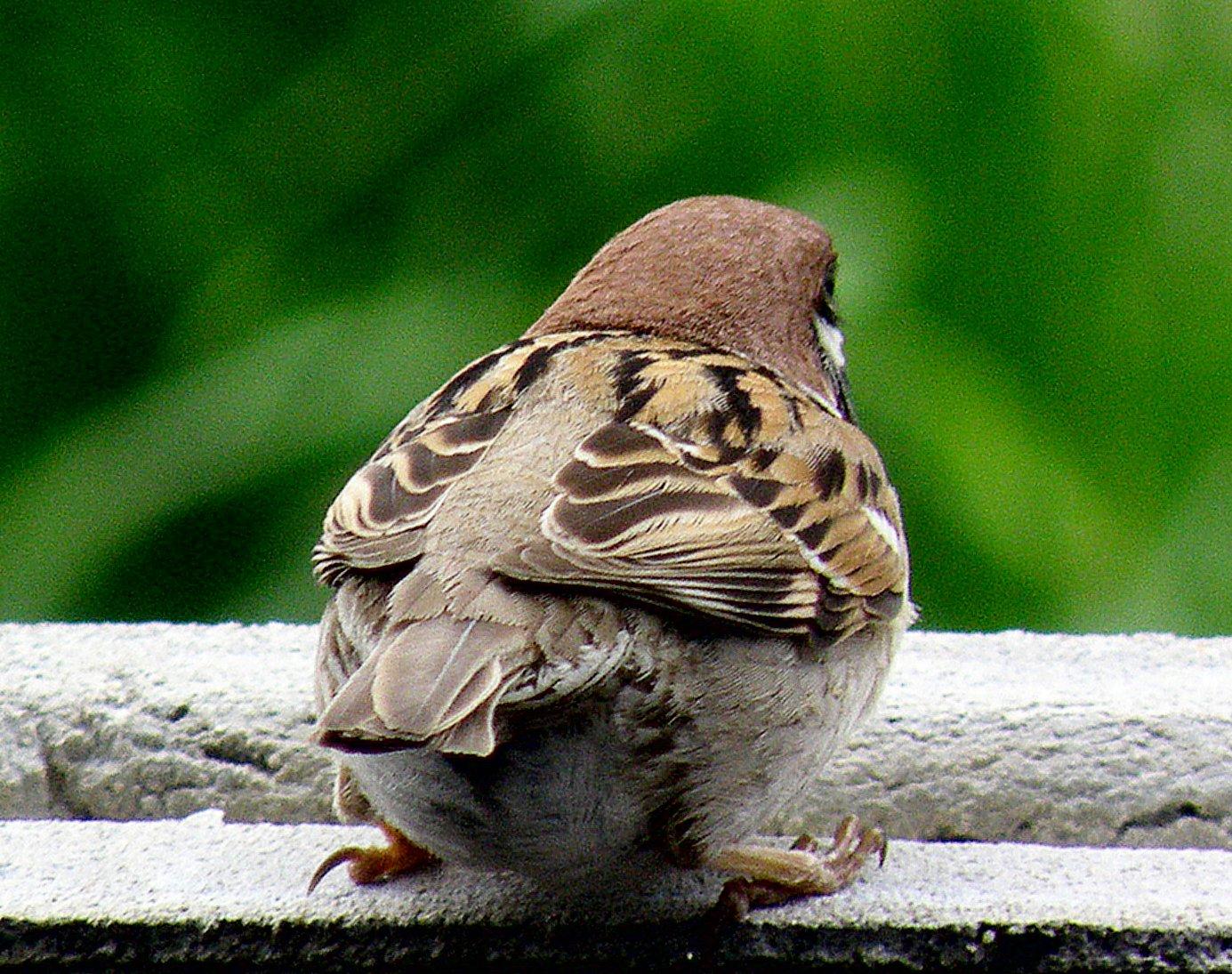 Tiếng chim Sẻ mồi mp3 - Bản Chuẩn - Bẫy chim sẻ thật đơn giản