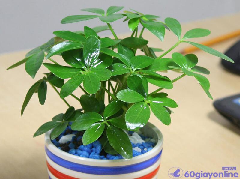 cây phong thủy cho người tuổi dần