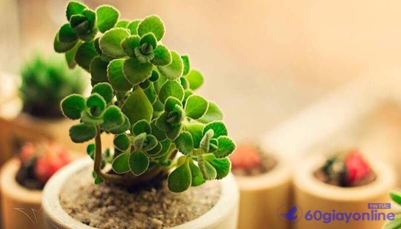 cây phong thủy cho tuổi hợi