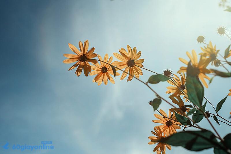 Hoa cúc mang lại niềm vui, may mắn cho gia đình