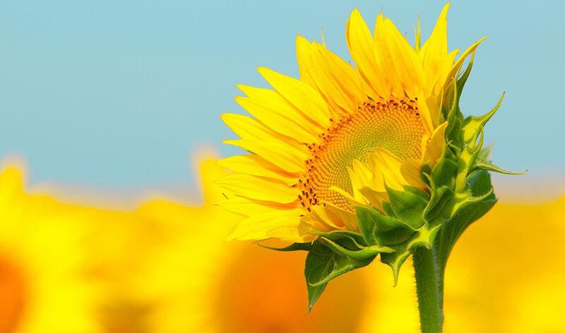 Chữa đau dạ dày bằng hoa hướng dương