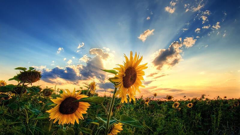 chữa đau bụng kinh bằng hoa hướng dương