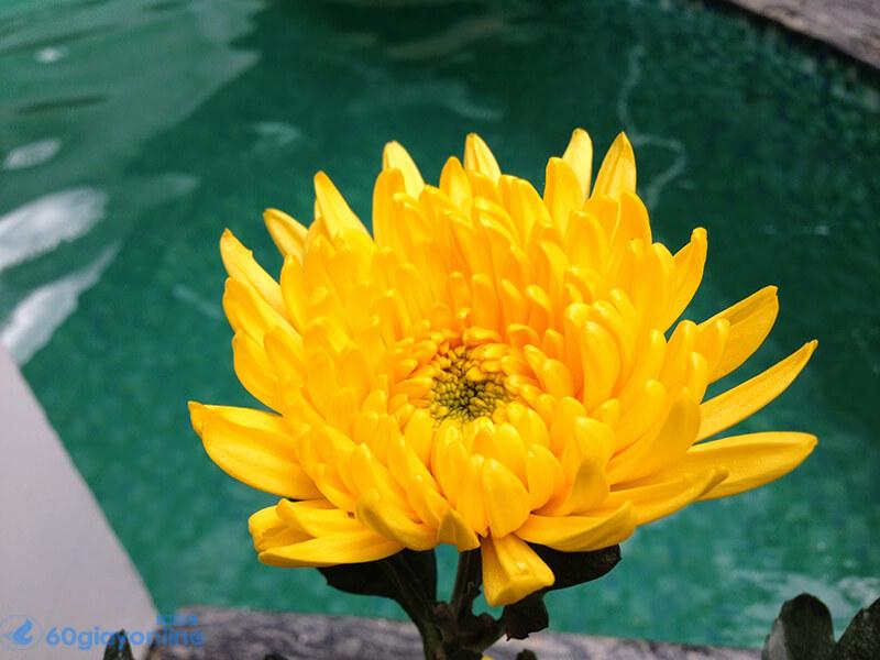 Khi nói tới hoa tươi trong tang lễ thì hoa cúc vàng là loại hoa đầu tiên được moị người nghĩ tới nhiều nhất.