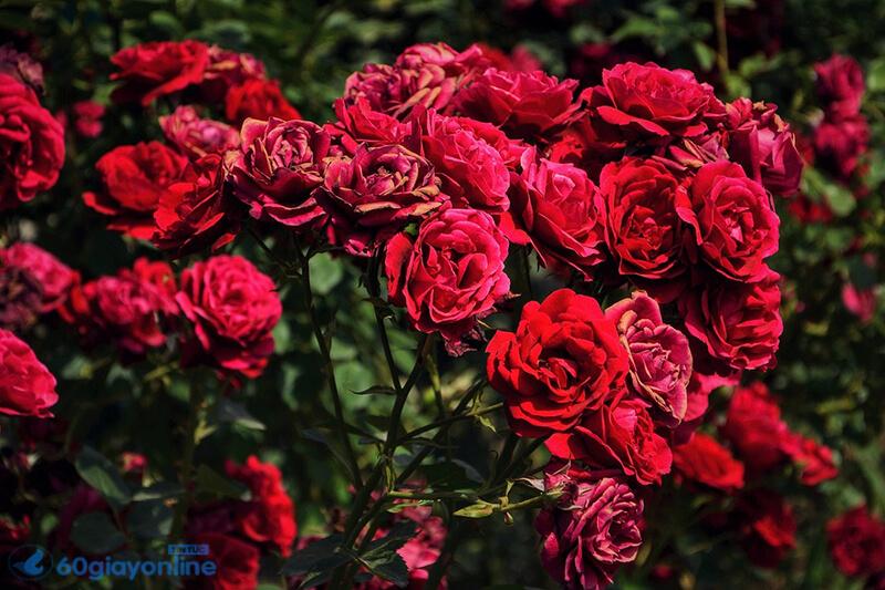 Hoa hồng, một loại hoa không chỉ đại diện cho tình yêu mà còn là đại diện cho những nổi buồn chia ly.