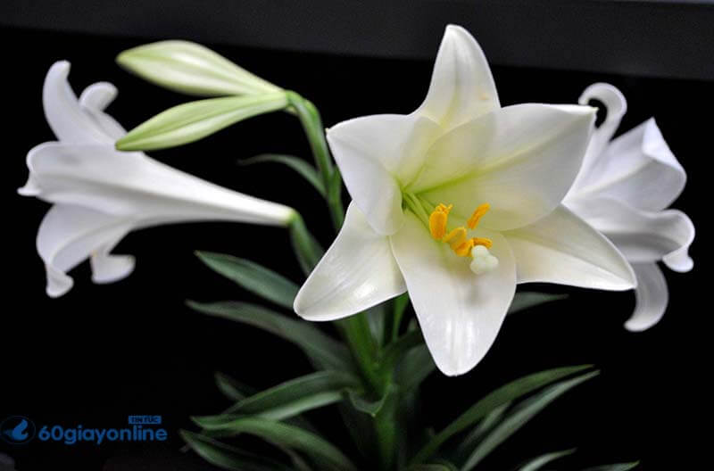 Hoa ly mang 1 nỗi buồn sâu lắng