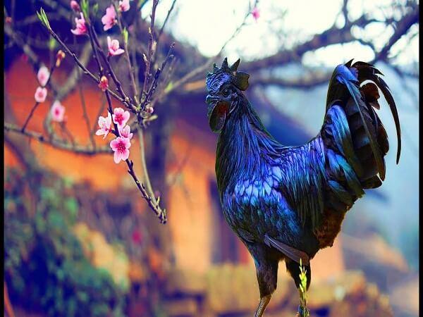 Thịt gà đen tủa chùa
