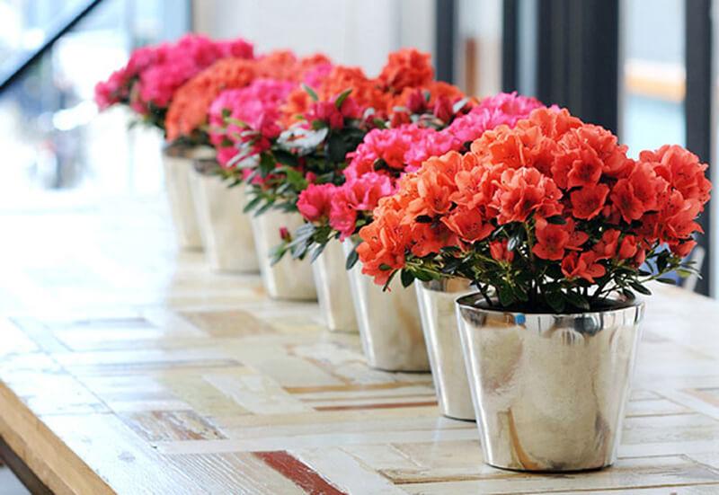Dịp nào thì nên tặng hoa Đỗ Quyên
