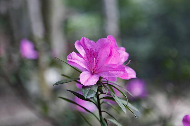 Đỗ quyên tím và hồng