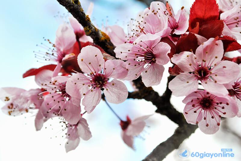 Hoa anh đào luôn được biết đến là loại mang lại điềm may